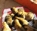 shepherd malinois for sale, 5 puppies avaliable