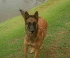 breeder in ireland malinois