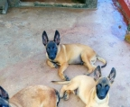 malinois for sale puppy