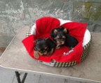 3 Male Yorkshire Terrier