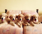 4 Puppies breed Golden retriever