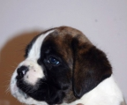 Puppies 1,5 month breed Boxer