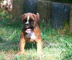 Pup boxer for sale