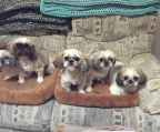 breeder in Ireland Shih tzu