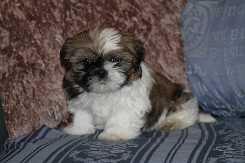 Shih tzu pup for sale ireland