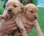 3 Pups Golden Retriever