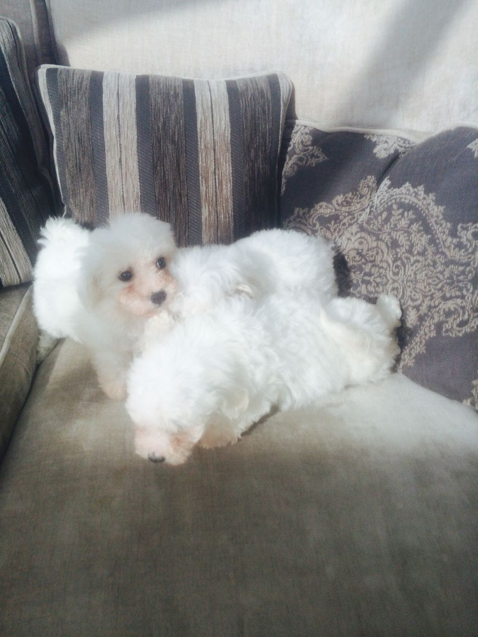 Beautiful Pedigree Bichon Puppies