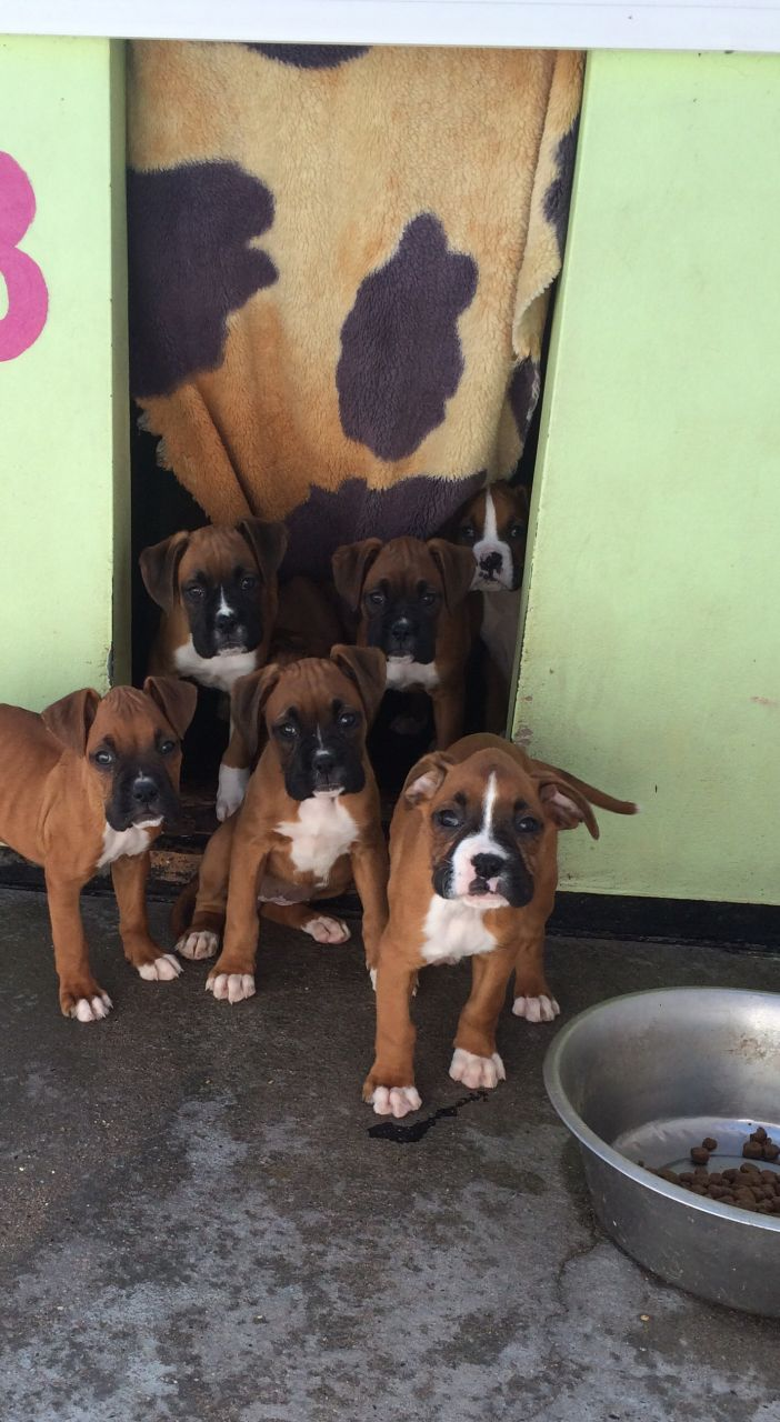 Stunning Boxer Puppies Kc Reg. Ready Now