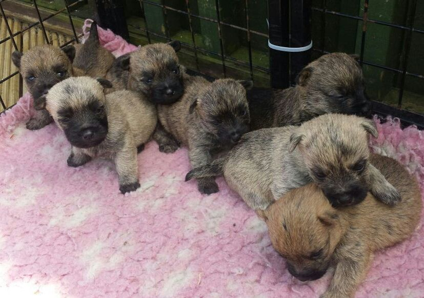Kc Reg Stunning Cairn terrier  Puppies