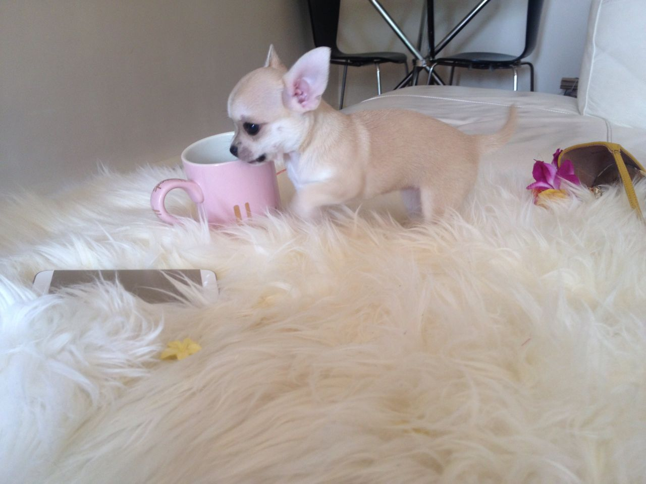 Gorgeous Tiny Teacup Kc Chihuahua Puppies