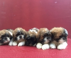 Shih tzu sell Ireland