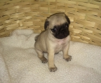 Puppy for sale Pug, male and female