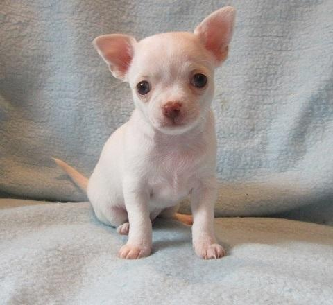 Small smooth coat chihuahua\′s