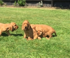 Ikc golden cocker spaniels