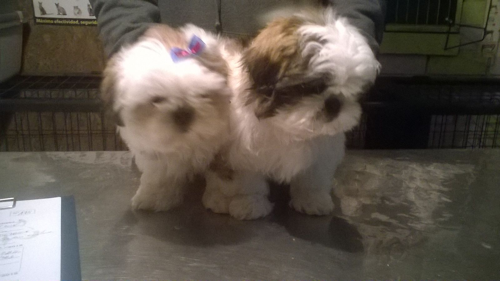 Shih tzu for sale puppies