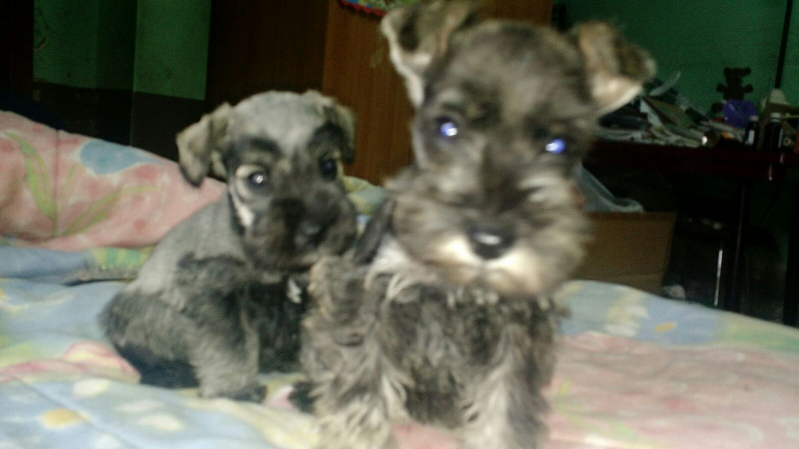 Males and females Schnauzer pups for sale