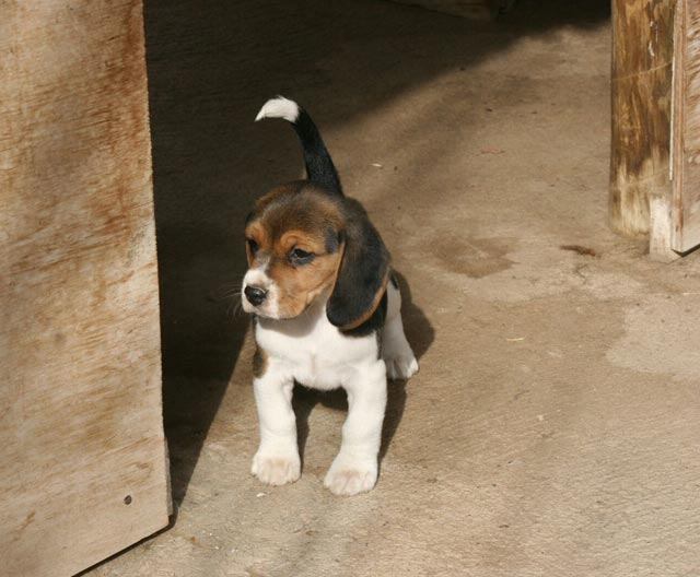 Puppies Beagle sale in ireland