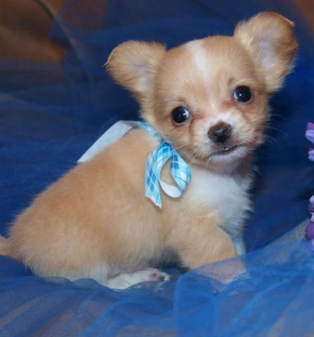 Stunning litter Teacup Chihuahua Puppies available