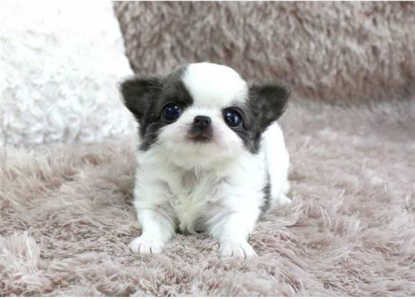 Baby Poncho ~ Blue/White LC Micro Teacup Chihuahua
