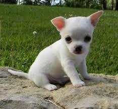 Adorable chihuahua puppy for adoption