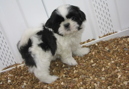 Good and playful Shih Tzu Puppies