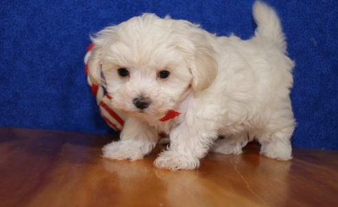 Good and playful Maltese Puppies