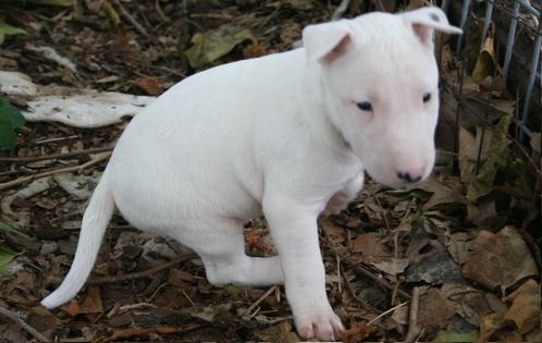 Good and playful Pit Bull terrier Puppies