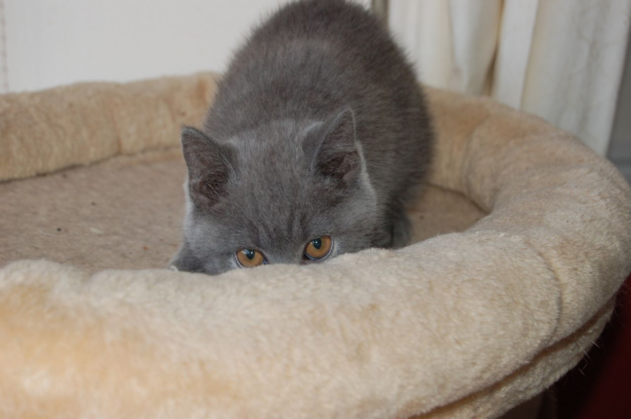 Gorgeous British Shorthair Kittens - Pedigree