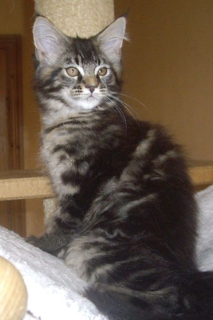 1 Pedigree Female Brown Tabby Maine Coon Kitten