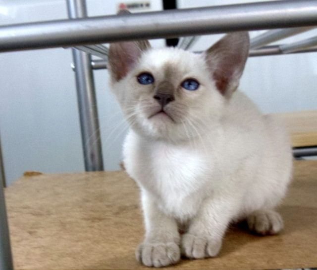 Pedigree Siamese Kittens
