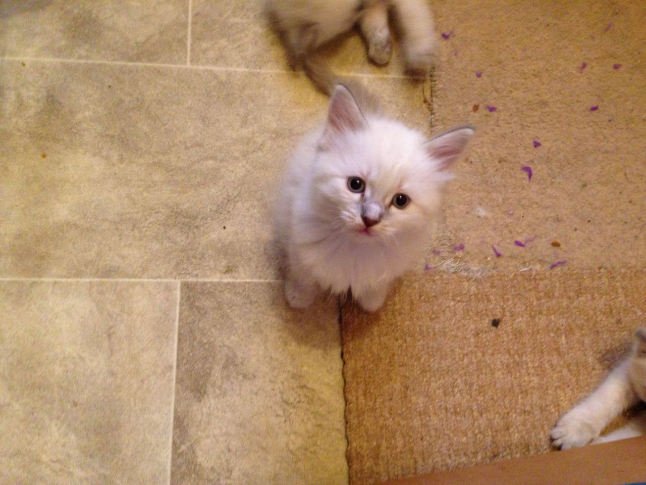 4 Pure Blue Point Ragdoll Kittens