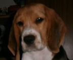 Now displaying Beagle Puppies