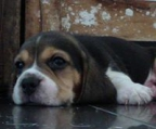 AKC Tri Color Beagle Puppy