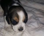 cute puppy beagle for sale