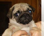 very charming female and male pug puppies