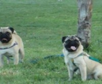 Pug puppies 2 male and 3 female