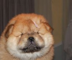 chow chow puppy that is being household