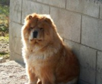 STUNNING LIL Chow Chow  MALE Price