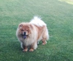 gorgeous chow chow