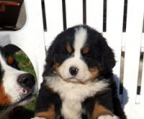 bernese for sale