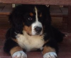 bernese puppy