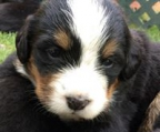 AKC registered puppies bernese. 4 weeks old. Mother and father on site! Family dogs.