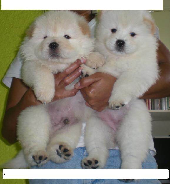 QUALITY CHOW CHOW PUPPIES FOR GOOD HOMES