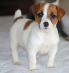 Registered Jack Russell Puppies for Adoption