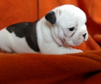 female puppy french bulldog