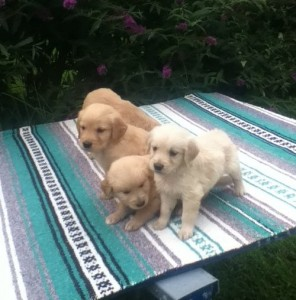 Lovely Golden Retriever Puppies