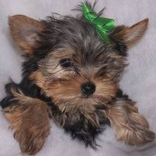 Charming female and male Yorkie puppies
