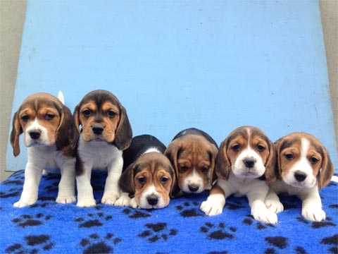 Beagles microchipped and vaccinated by vet
