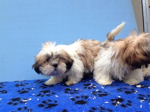 Shih Tzu ikc reg vaccinated and microchipped. By vet �400