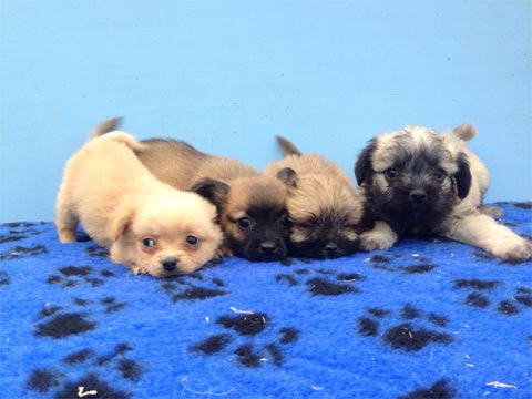 Maltese cross pug microchipped and vaccinated by vet �250